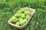 Green Apples (Seasonal)